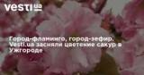 Город-фламинго, город-зефир. Vesti.ua засняли цветение сакур в Ужгороде